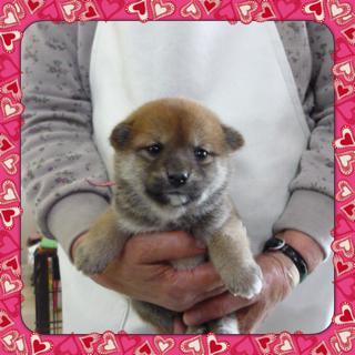 ○ 柴犬(オス)№95