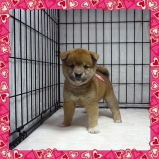 柴犬 (メス)№47
