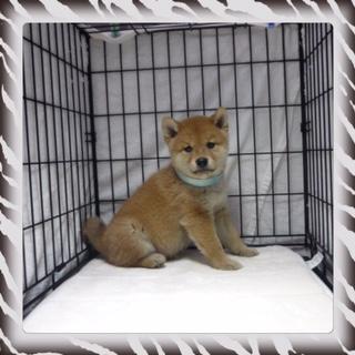 ○ 柴犬 (オス)№52