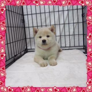 ○ 柴犬 (メス)№54