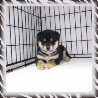 ○ 黒柴犬 (オス)№76