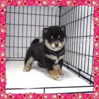 ○ 黒柴犬 (メス)№75