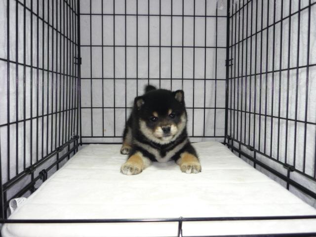 黒柴犬 (メス)№75