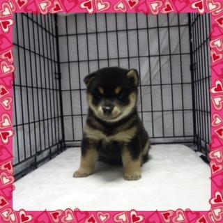 ○ 黒柴犬 (メス)№29