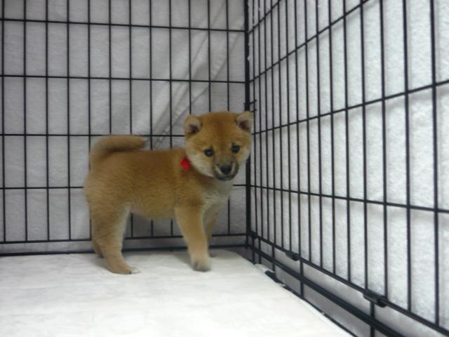 ○ 柴犬 (メス)№27     【豆サイズ】