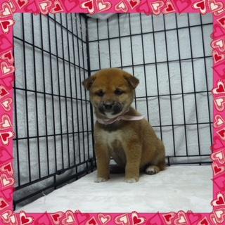 ○ 柴犬 (メス)№47