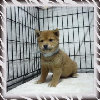 ○ 柴犬 (オス)№49
