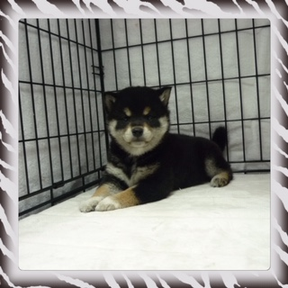 ○ 黒柴犬 (オス)№73