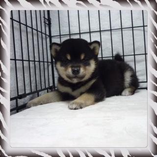 ○ 黒柴犬 (オス)№74