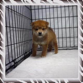 ○ 柴犬 (オス)№84