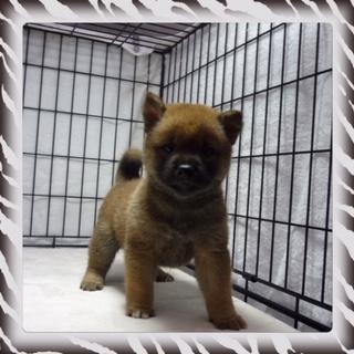 ○ 柴犬 (オス)№90