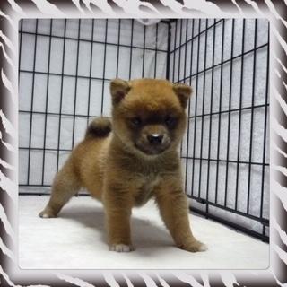 ○ 柴犬 (オス)№91