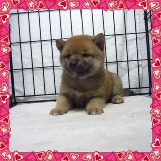 ○ 柴犬 (メス)№92