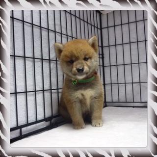 柴犬 (オス)№11