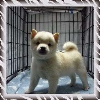 ○ 柴犬 (オス)№28
