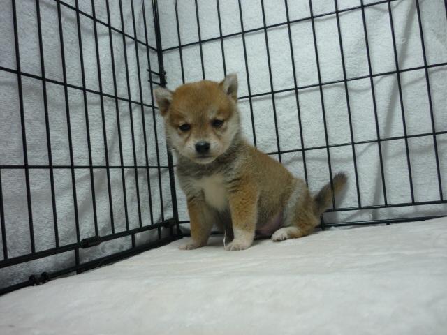○ 柴犬 (オス)№68  【小ぶりサイズです】