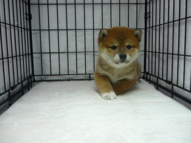 柴犬 (オス)№48          【写真はサンプルです】